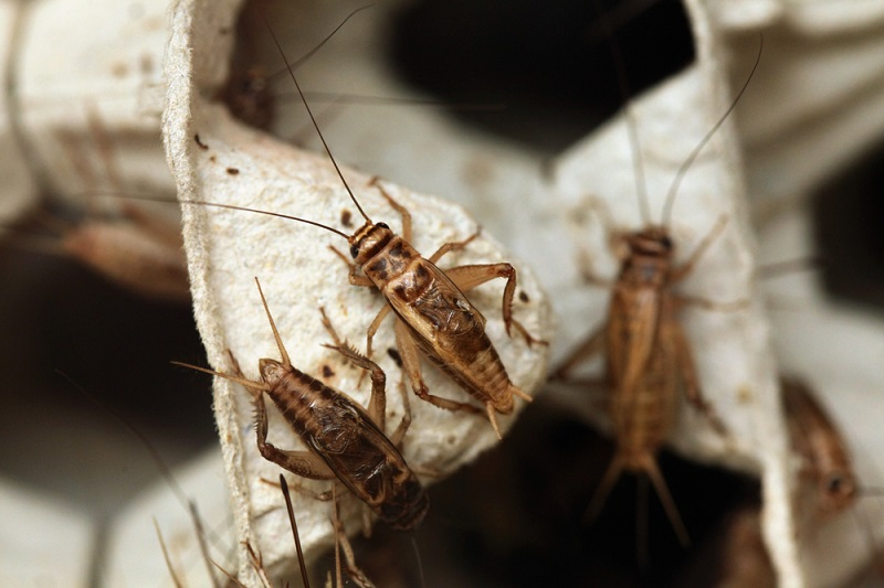 Crickets insects Shutterstock Strong Fit Well